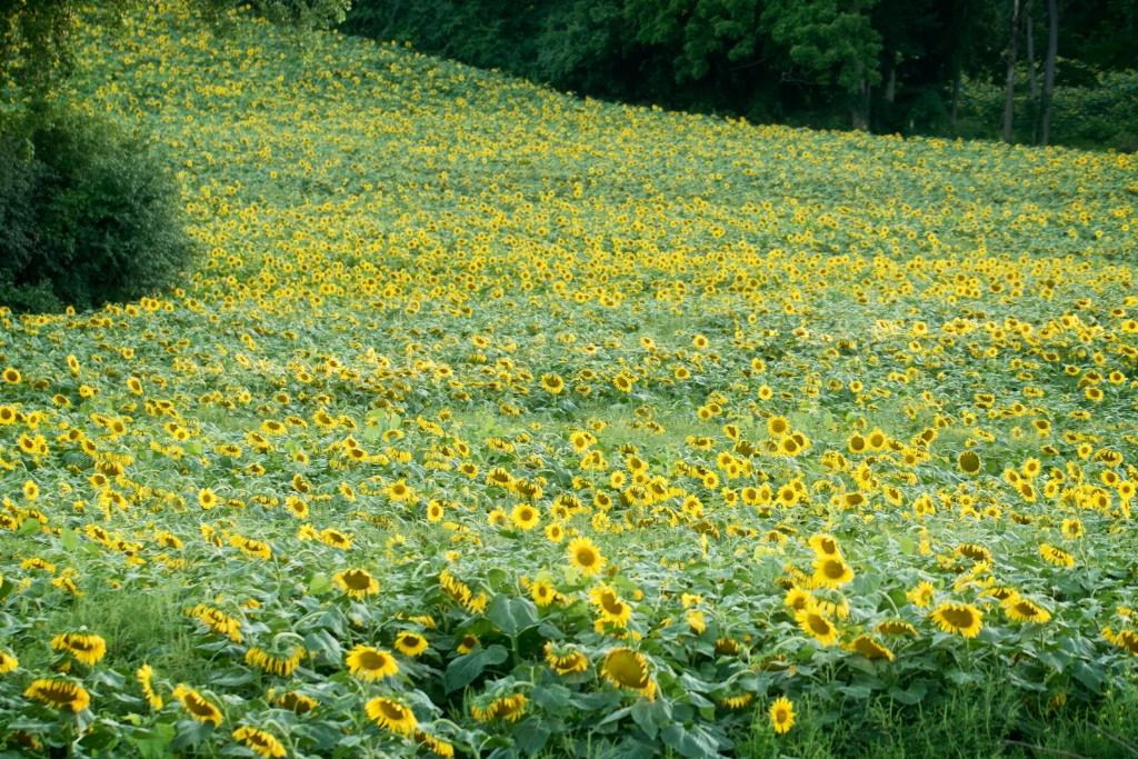 Sunflower field - ID: 15210920 © Teresa Letkiewicz