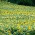 2Sunflower field - ID: 15210920 © Teresa Letkiewicz