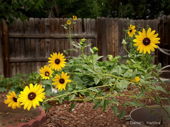 sunflower-1 - ID: 15211318 © Daniel  Hartline