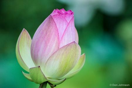 Lotus Bud 7-17-16 218