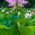 2Kenilworth Aquatic Gardens, DC - ID: 15215397 © Fran  Bastress