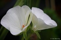 White Geranium-Seeing double...