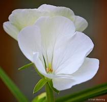 White Geranium - seeing double_2...