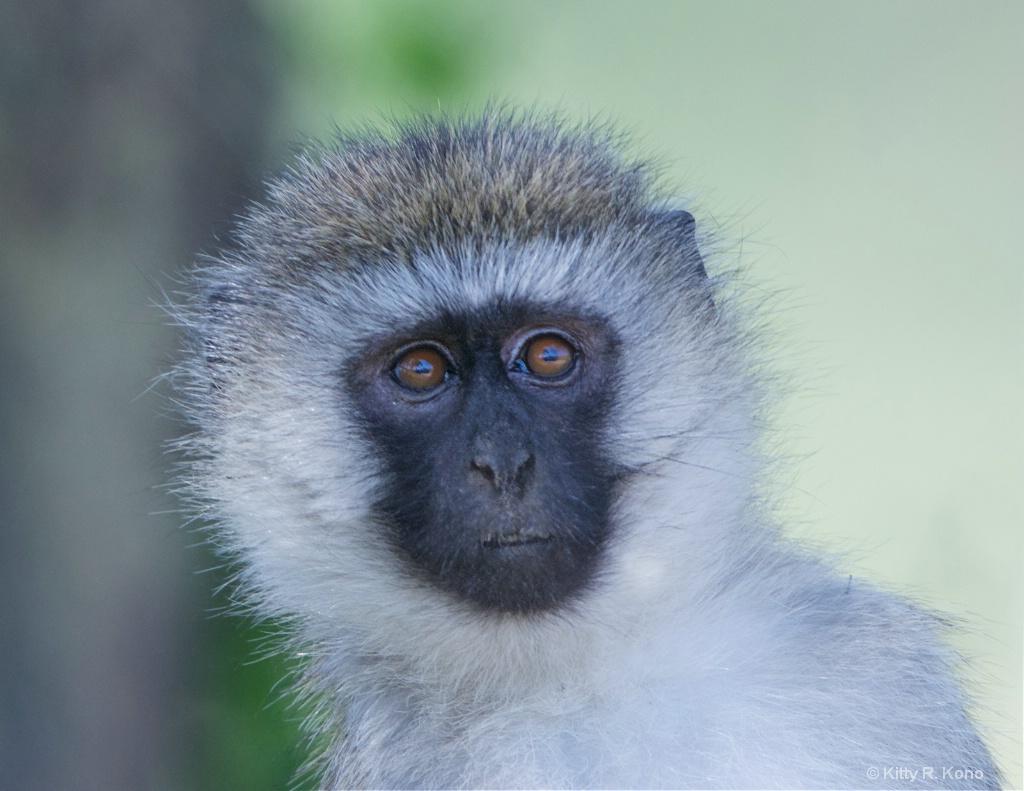 Vervet Monkey Portrait - ID: 15217190 © Kitty R. Kono