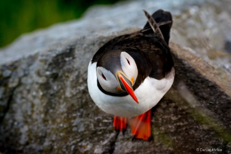 Curious puffin