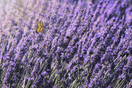 Lavender and Butterfly In The Morning Light