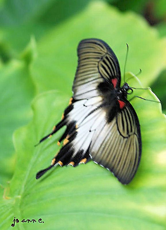 FRAGILE BLACK & WHITE BUTTERFLY!