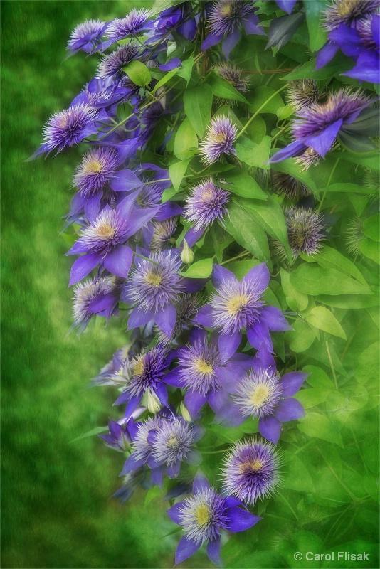 Cascade of Clematis - ID: 15223877 © Carol Flisak