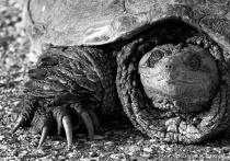 Minnesota turtle