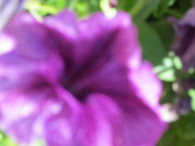 Up close purple African Daisy