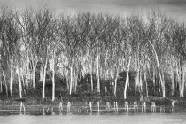 Pilings and Trees