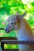 Blondie the Llama