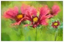 blanket flower quartet