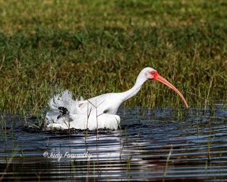 White Ibis Taking A Bath