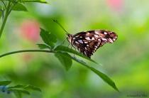 Juno Butterfly Resting