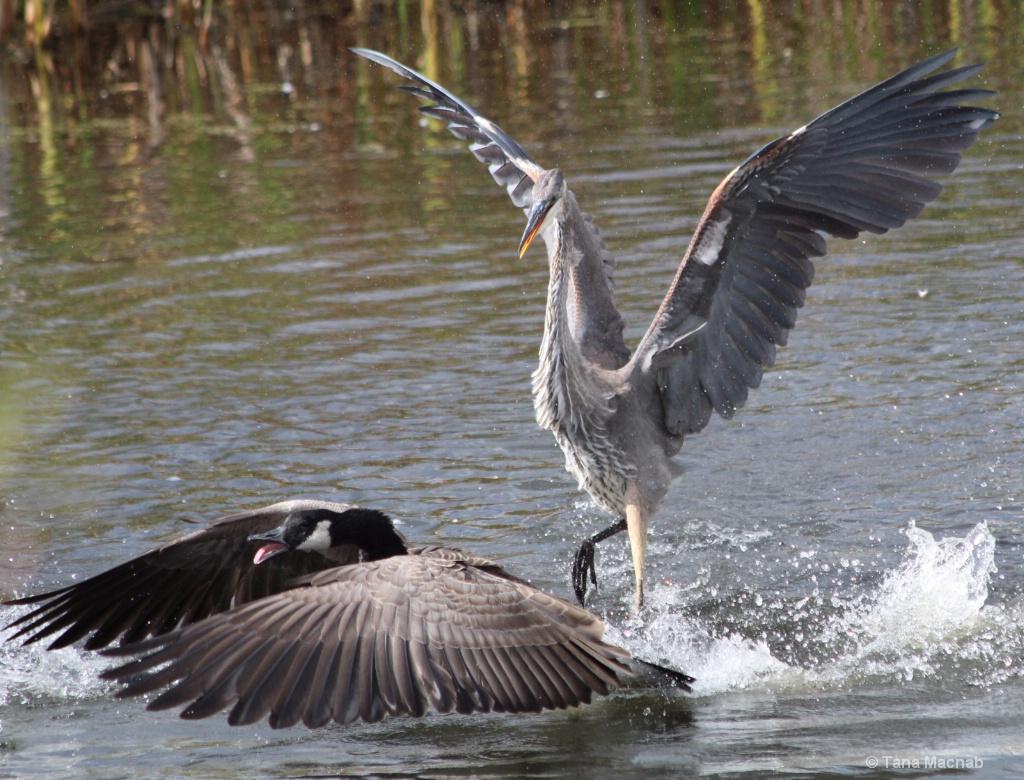 Dancing Heron Ducking Goose