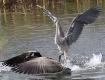 Dancing Heron Duc...