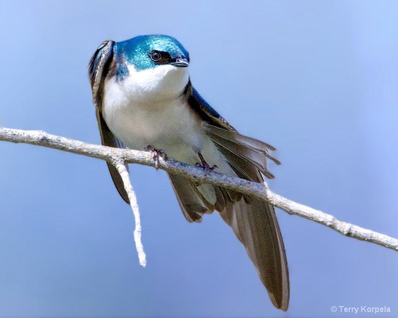 Tree Swallow - ID: 15231798 © Terry Korpela
