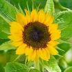 Sunflower in Sept...