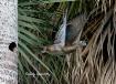 Female Wood Duck ...
