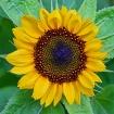 Sunflower revisit...
