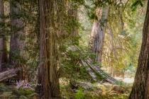 Giant Cedar Grove