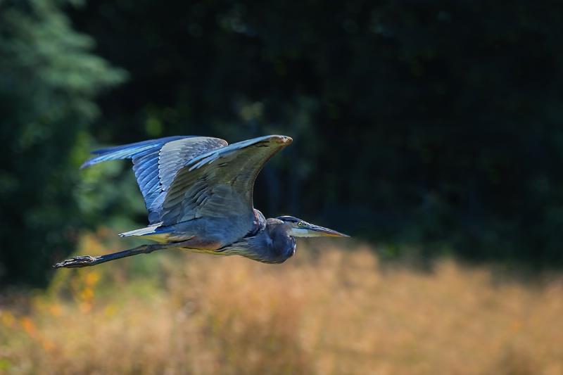 Heron Flight