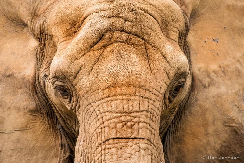 African Elephant 9-25-16 560
