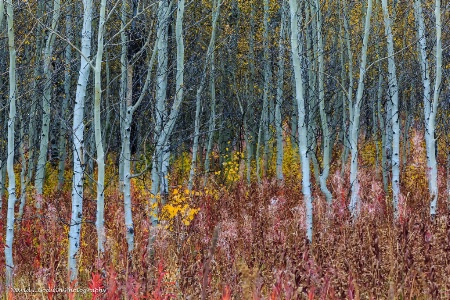 Beautiful Stand of Aspens