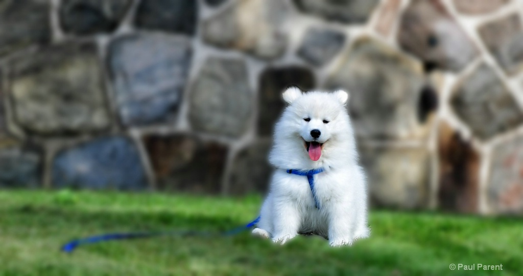 Dexter the Samoyed Dog - ID: 15236374 © paul parent