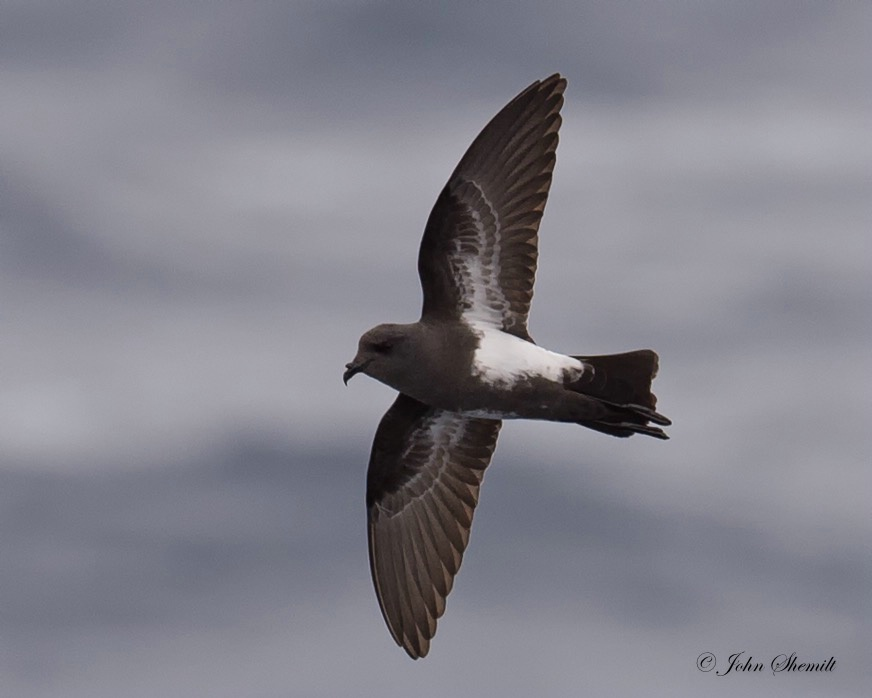 Black-bellied Storm-petrel - Jan 21st, 2016 - ID: 15236404 © John Shemilt