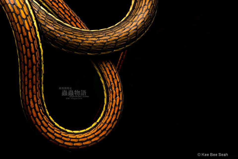 Snake of Ribbon