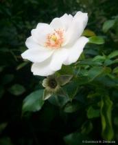 ~ ~ OLD WORLD ROSE ~ ~