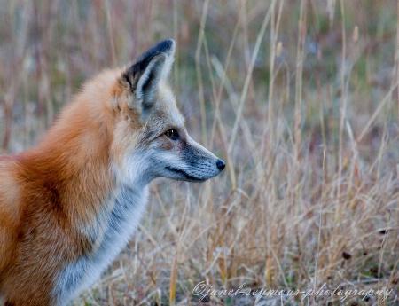 Hunter Fox