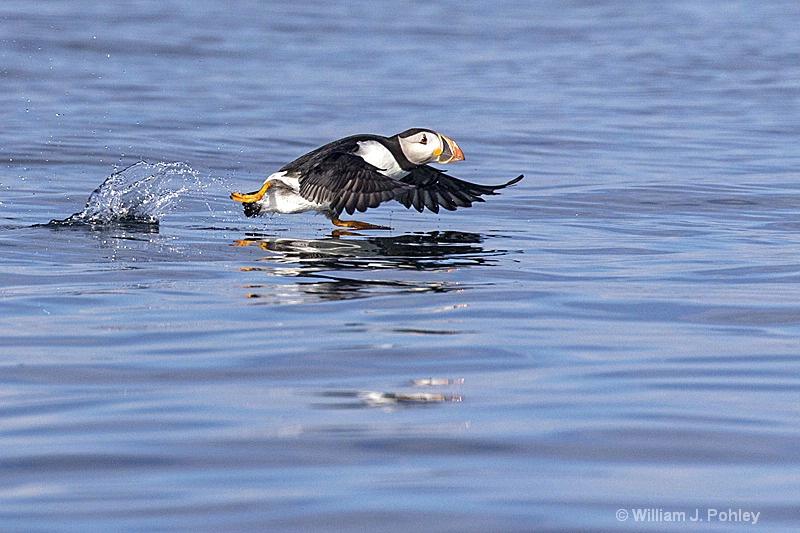 Atlantic Puffin take off  H2U8726 - ID: 15241163 © William J. Pohley