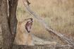 AFRICA Lion Tree