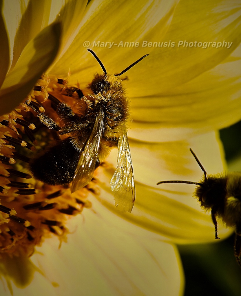 Bees on Sunflower - ID: 15244644 © Mary-Anne Benusis