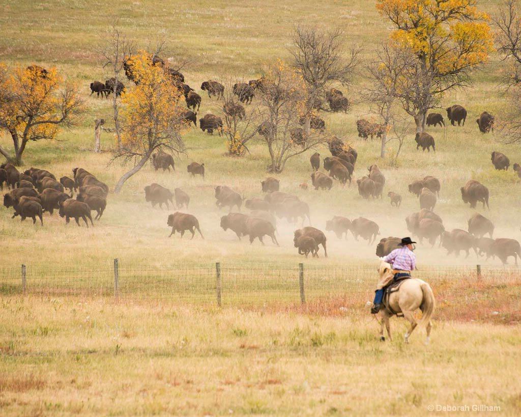 Bison Round Up