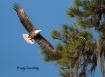 Bald Eagle In Fli...