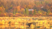 Golden day, cabin and bear.