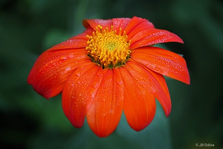 Tithonia ( Mexican Sunflower)
