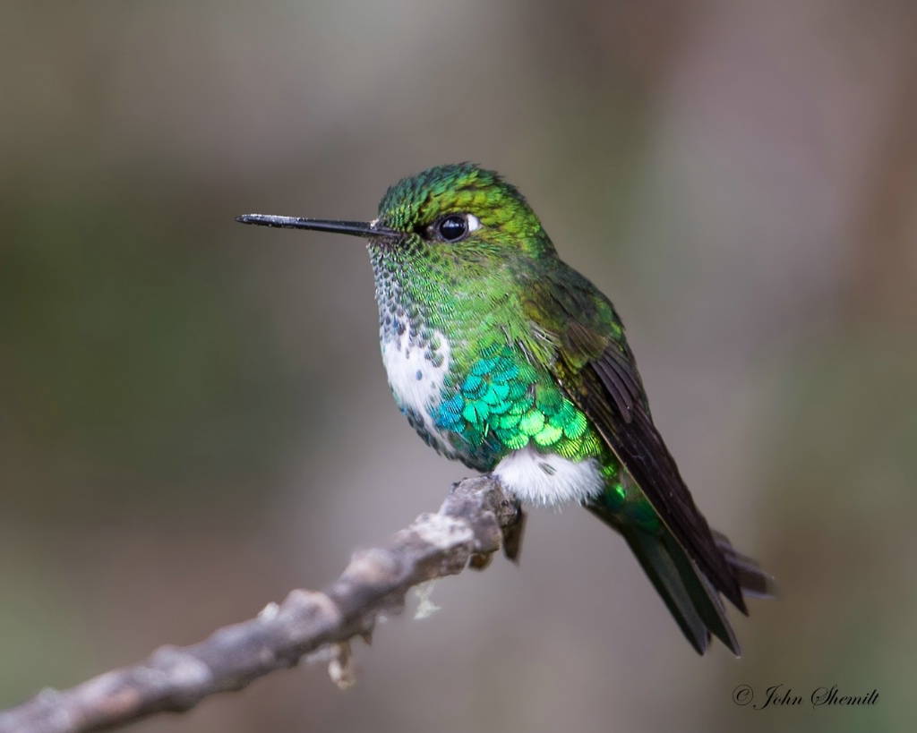 Emerald-bellied Puffleg - Jan 26th, 2014 - ID: 15253129 © John Shemilt