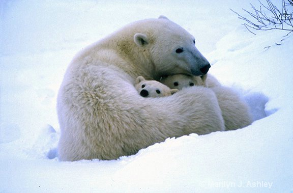 Polar Bear Mother & Cubs, Churchill, Canada - ID: 15254828 © Marilyn J. Ashley