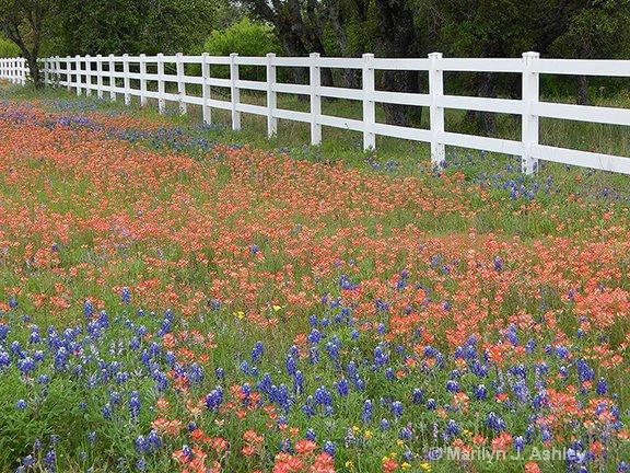 Paint Brush & Blue Bonnets - ID: 15254892 © Marilyn J. Ashley