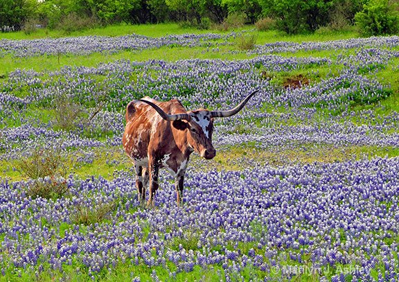 Longhorn in Bluebonnets  - ID: 15254904 © Marilyn J. Ashley