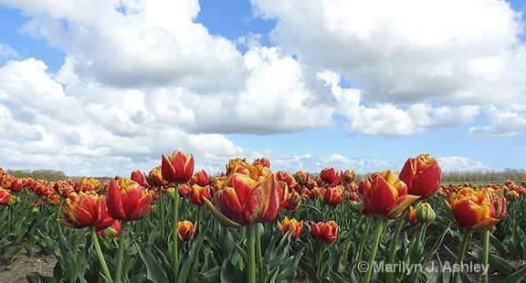 Hoorn, Netherlands, Tulip Field - ID: 15255105 © Marilyn J. Ashley