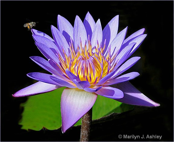 Purple Water Lily with Bee - ID: 15255152 © Marilyn J. Ashley