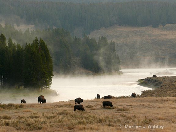 Buffalo, Hayden Valley,Yellowstone NP - ID: 15255255 © Marilyn J. Ashley