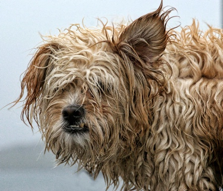 Scruffy Sled Dog