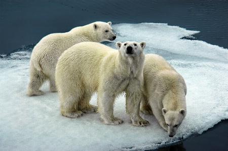 Ice Bear Threesome
